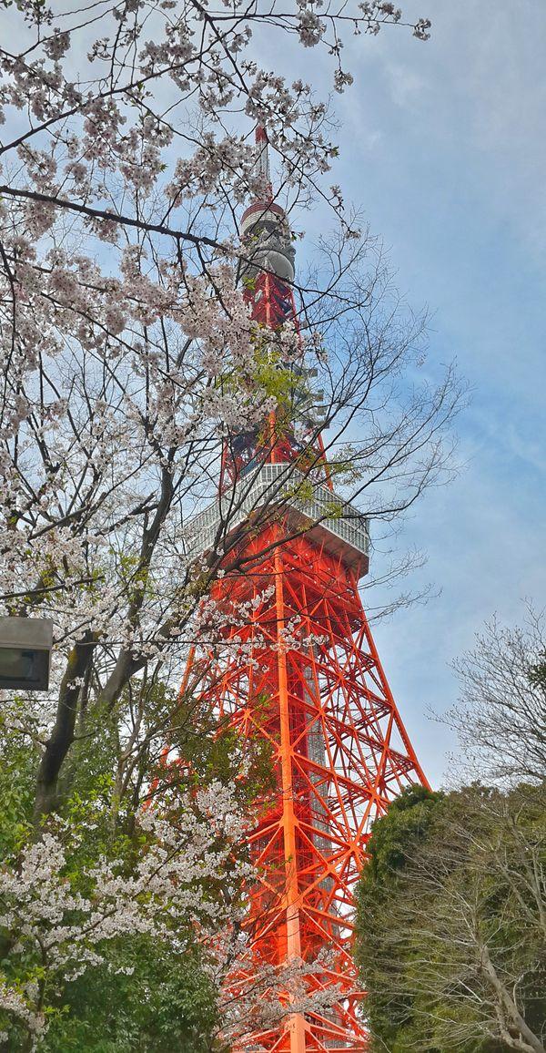 Tokyo Tower Behind Sakura Flowers thumbnail