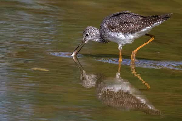 Yellowlegs with a small fish thumbnail