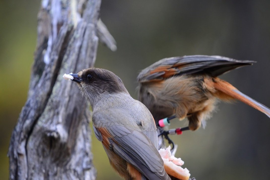 A Long Childhood May Be How Crows and Jays Evolved Their Smarts