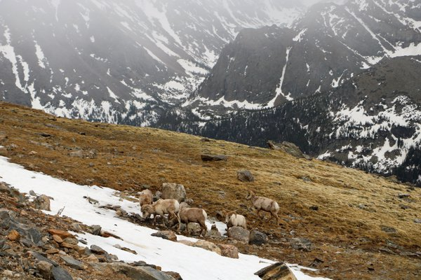Big horned sheep in Rocky Mountain National Park. thumbnail