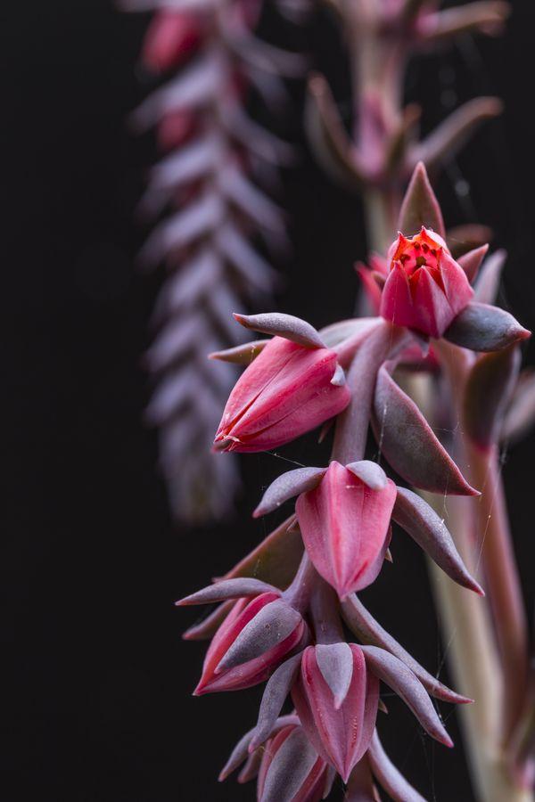Succulent thumbnail