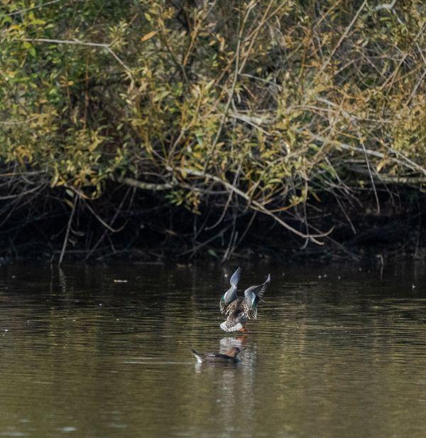 Duck landing thumbnail