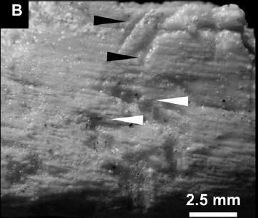 20110520083256velociraptor-bite-marks.jpg