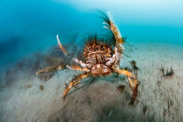 Spider crab aggregation thumbnail