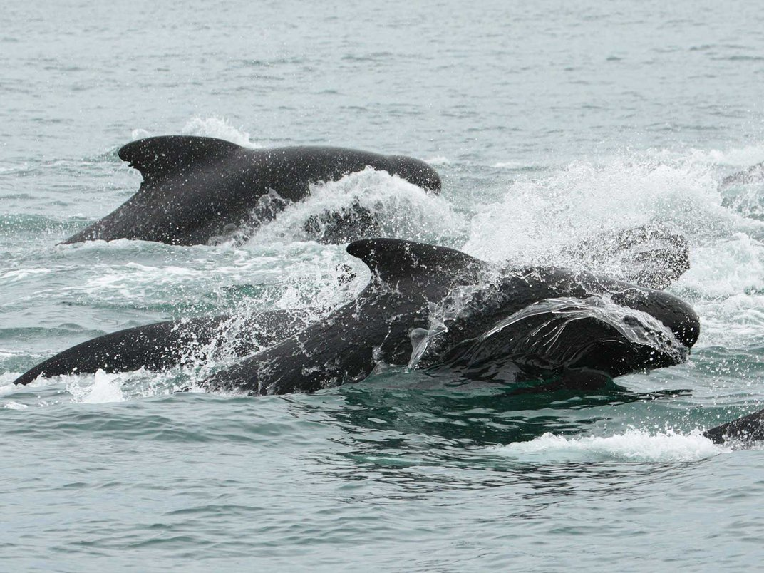 Why Do Pilot Whales Chase Killer Whales Near Iceland?