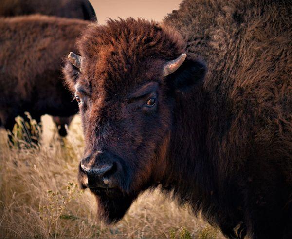 American Buffalo thumbnail
