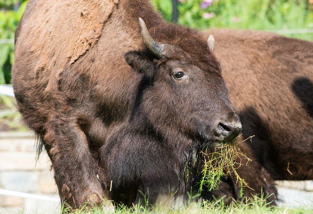 New bison