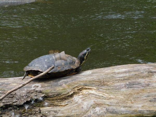 Turtle sunbathing  thumbnail