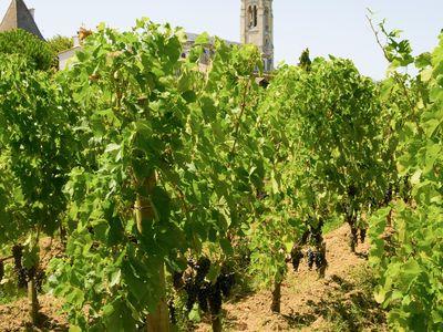 A vineyard in Pomerol, Aquitaine, France