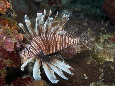 Invasive species like lionfish can harm natural, human, and economic health. (Barry Brown)