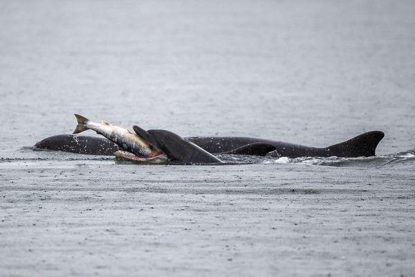 Dolphin eating a salmon thumbnail
