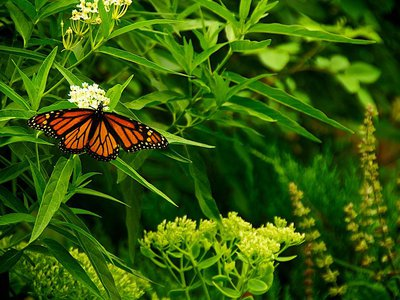 A monarch feasting on milkweed.