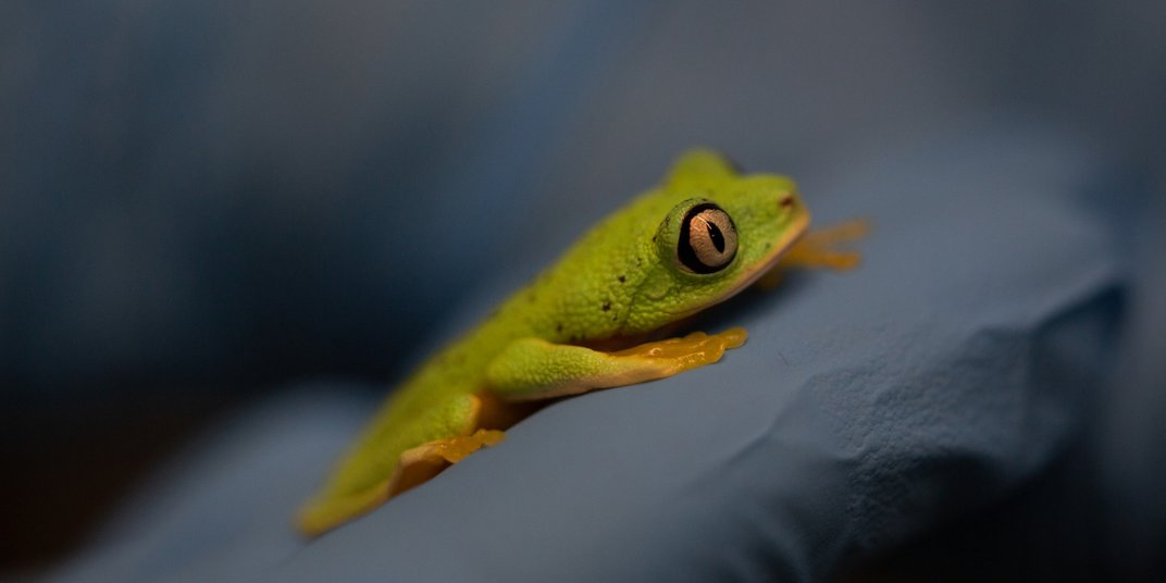 A small, green and yellow frog with large, round eyes (called a lemur leaf frog) lays flat against the gloved hand of animal keeper.