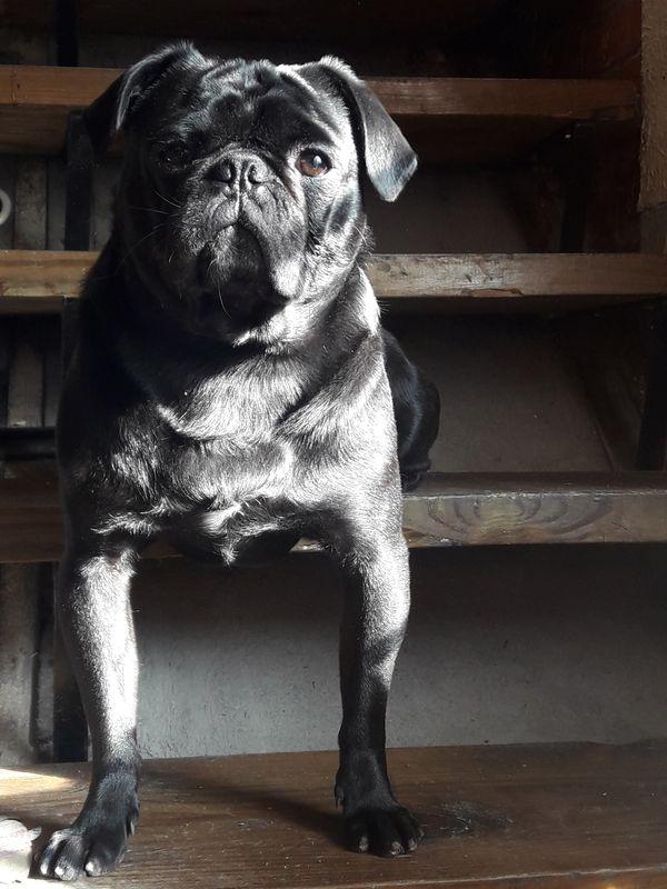 Pug dog sitting at the stairs thumbnail