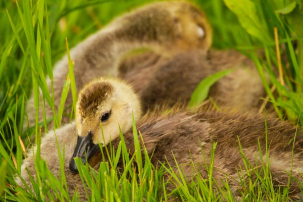 Baby Geese thumbnail