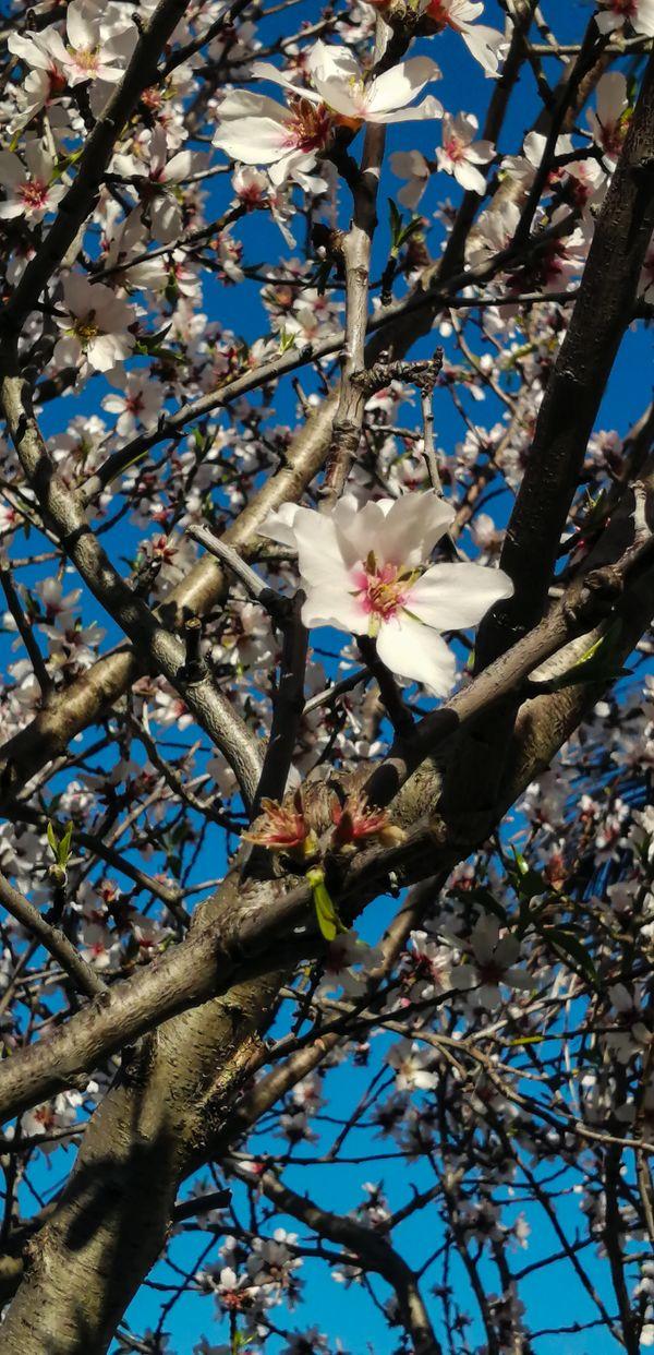 Almond tree blossom thumbnail
