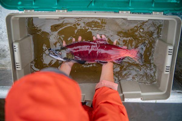 Salmon Research thumbnail