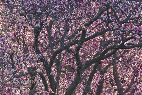 Cheers for Spring: Magnolias Aglow in the Pink — #1a thumbnail