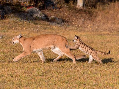 A mountain lion kitten grabs onto its mother's hind legs.