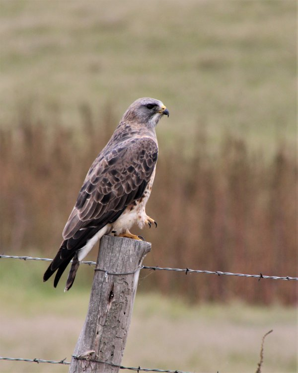Red Tailed Hawk thumbnail