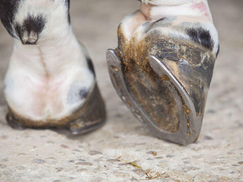 Horse foot