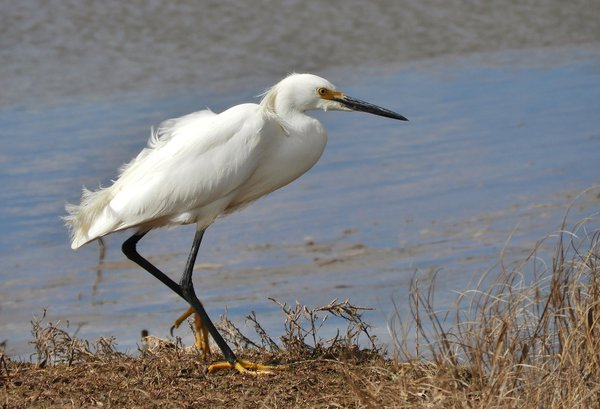 Snowy Egret observed on the shores of the Bay of Fundy in Atlantic Canada thumbnail