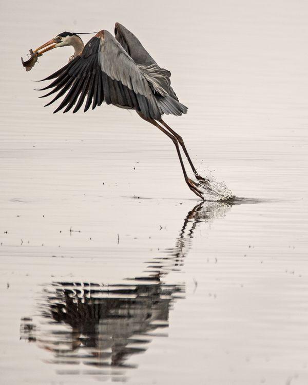 Great Blue Heron Catch Flying Away thumbnail