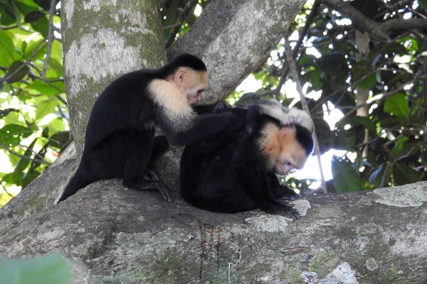 White-faced Capuchin monkeys grooming thumbnail