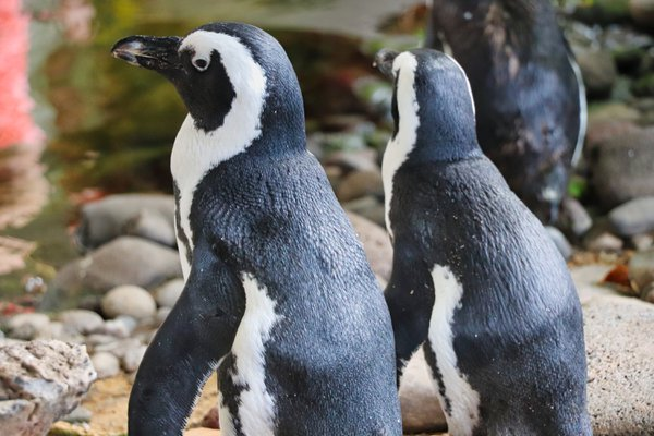 African Black Footed Penguin thumbnail