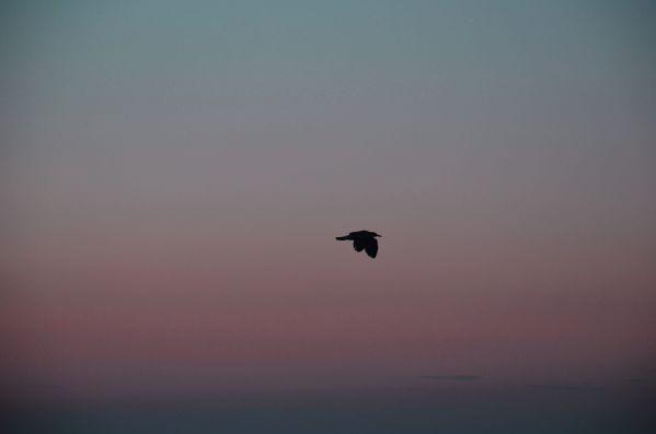 Bird on a sunrise thumbnail