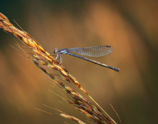 A damselfly hunting in the evening sunset thumbnail