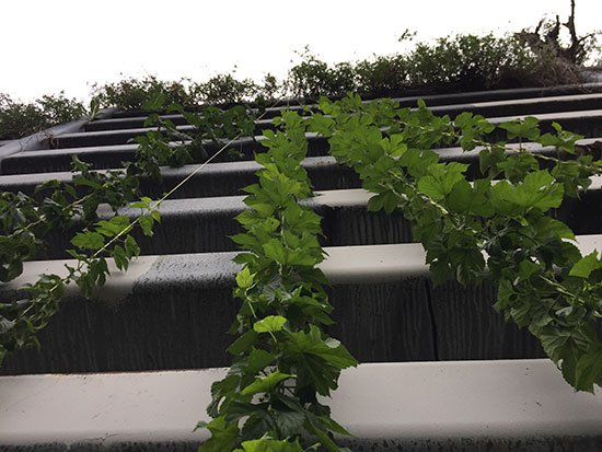 Growing Hops in Abandoned Lots? Pittsburgh Will Drink to That