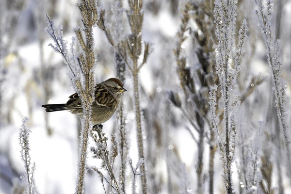 Sparrow in Frost thumbnail