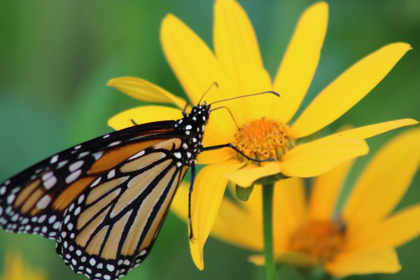 Monarch Resting thumbnail