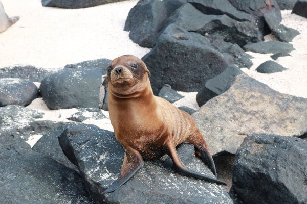 Galapagos Sea Lion  thumbnail