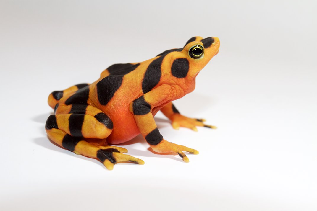 The Panamanian golden frog is in the toad family. Toads usually have dry skin compared to other frogs.