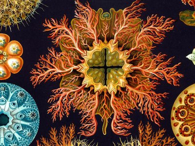 An engraving from German zoologist Ernst Haeckel's Kunstformen Der Natur, a 1904 book that celebrated the symmetry of nature