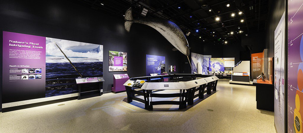 An exhibit display of a narwhal.