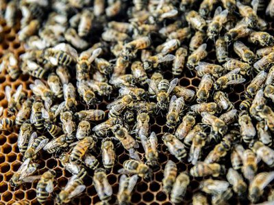 Honey bees, packed together in their hive, are vulnerable to infection from viruses.