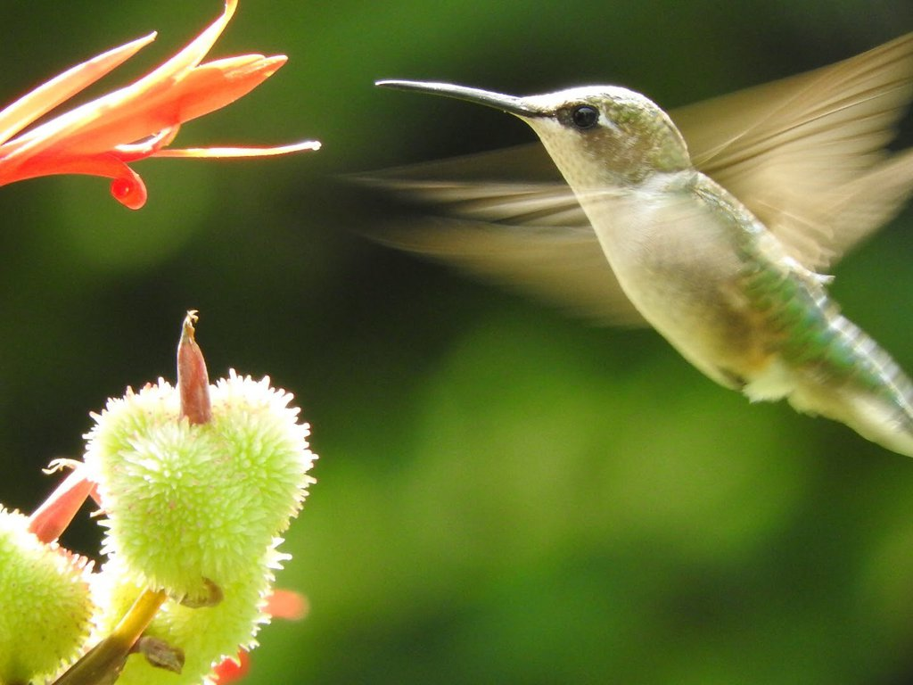 A ruby-throated hummingbird flying toward a flower to drink nectar
