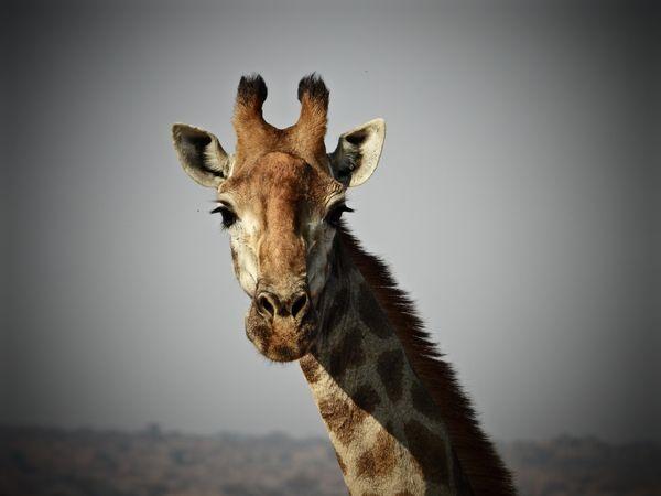 Majestic animal of the African Bushveld. thumbnail