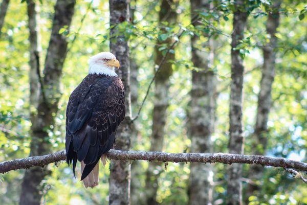 Bald Eagle in Sitka, Alaska thumbnail