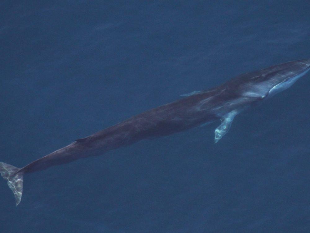 An endangered fin whale