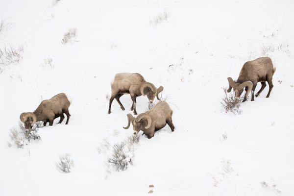 Bighorn sheep on a frozen hillside thumbnail