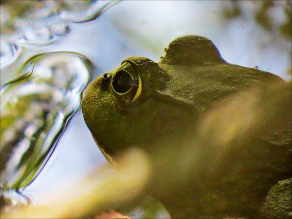 Jump bullfrog thumbnail