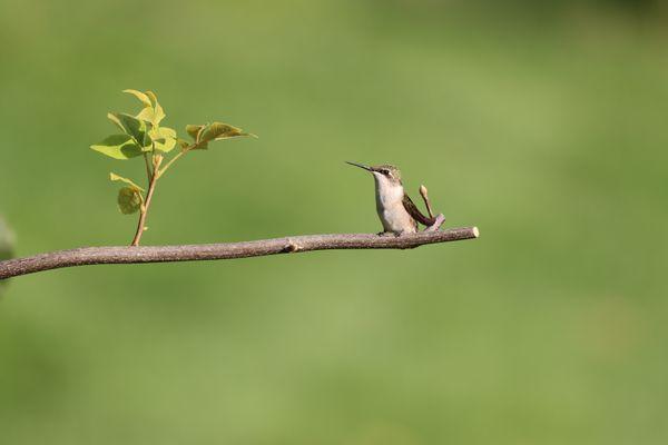 Hummingbird perched on a branch thumbnail