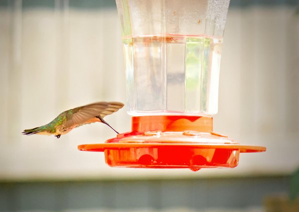A hummingbird enjoying some nectar. thumbnail