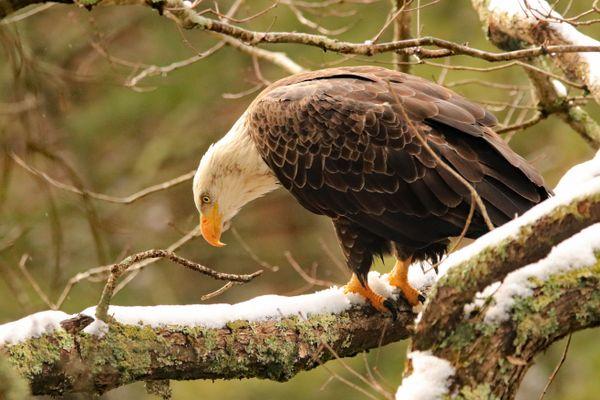 Bald Eagle Morning Fishing thumbnail