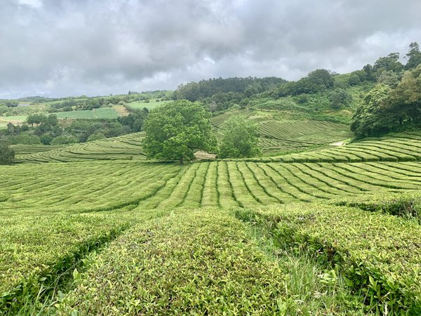 Tea Fields on the Island thumbnail