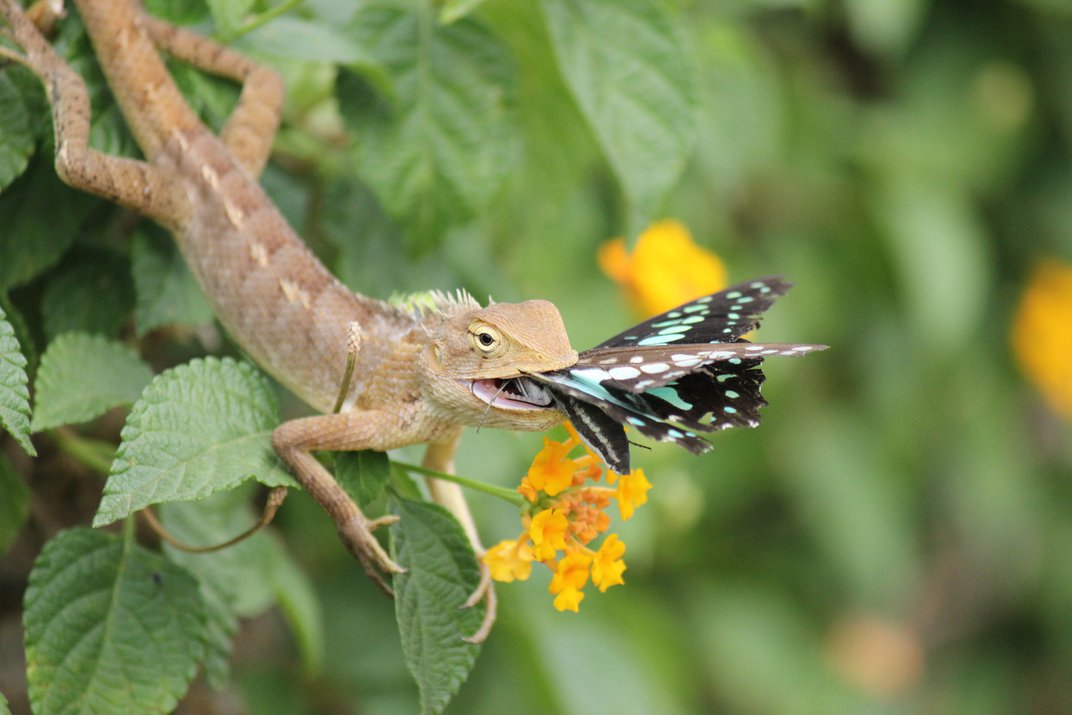 """""""Poor Butterfly"""" Lizard with butterfly in mouth ..."""